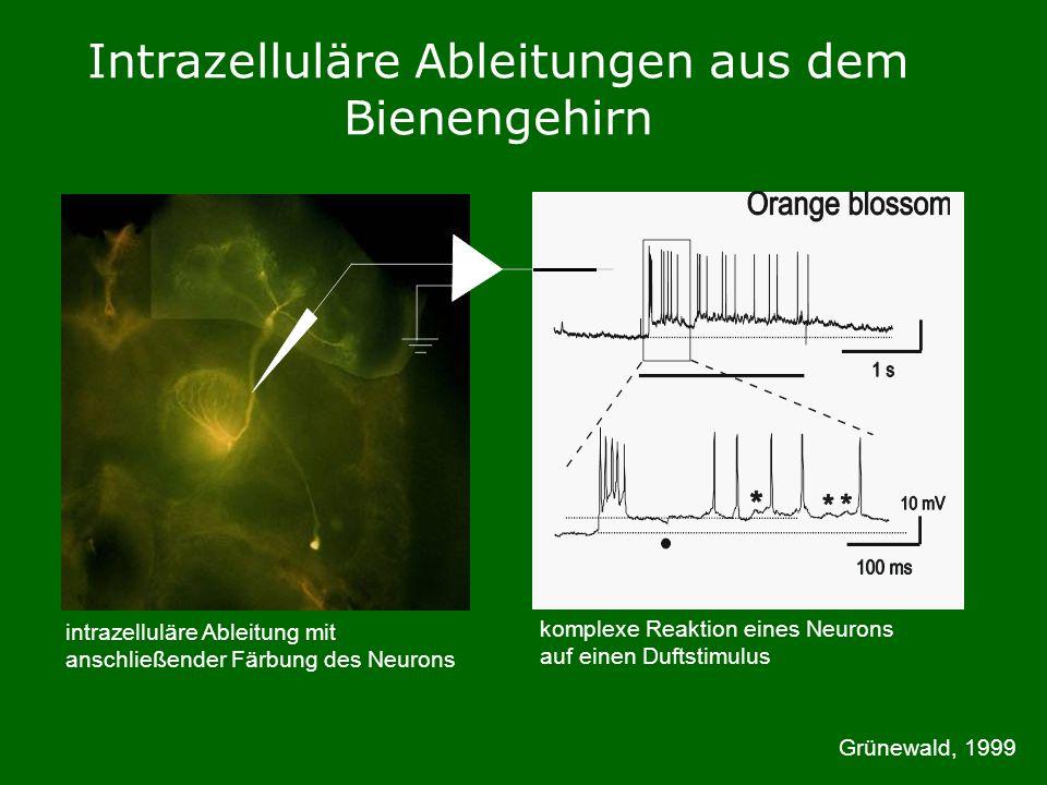 Intrazelluläre Ableitungen aus dem Bienengehirn