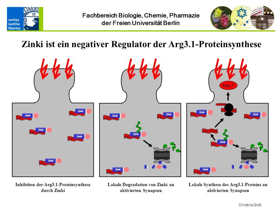 Zinki ist ein negativer Regulator der Arg3.1-Proteinsynthese