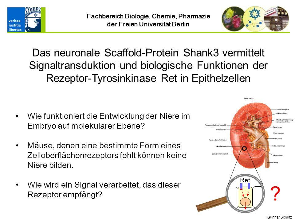 Das neuronale Scaffold-Protein Shank3 vermittelt Signaltransduktion und biologische Funktionen der Rezeptor-Tyrosinkinase Ret in Epithelzellen