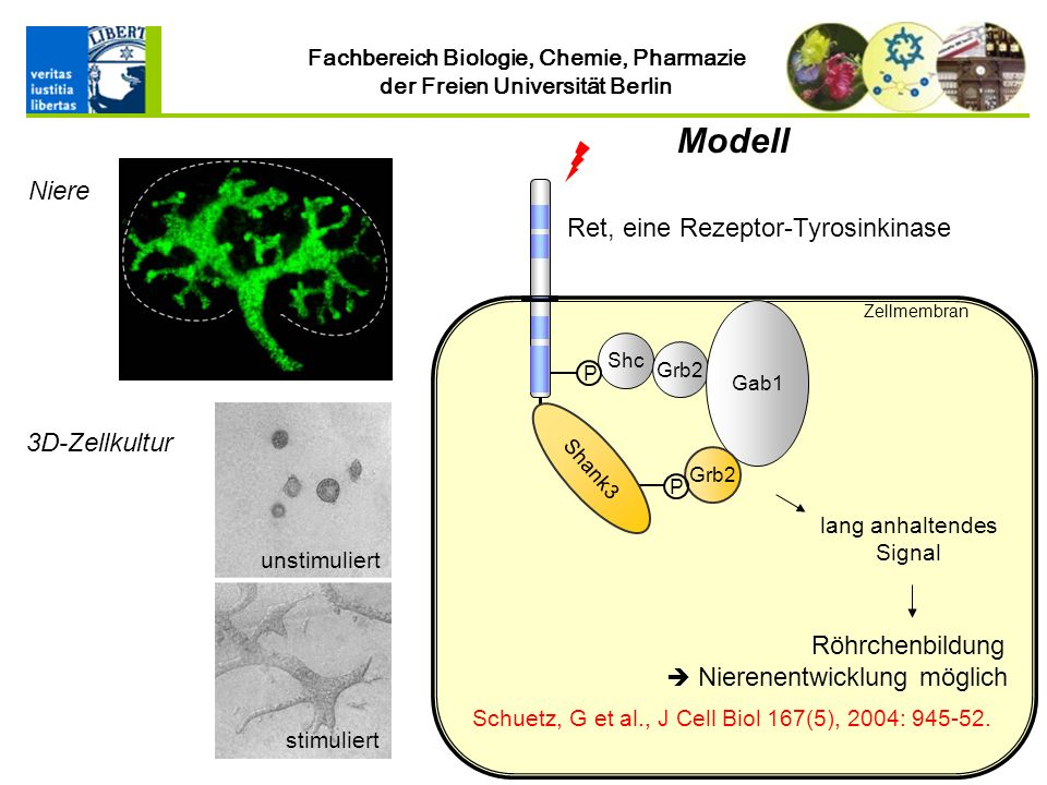 Modell Niere Ret, eine Rezeptor-Tyrosinkinase 3D-Zellkultur