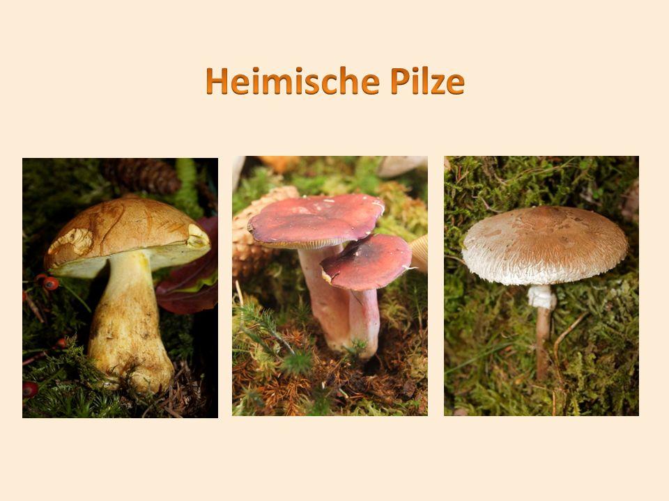 Heimische Pilze