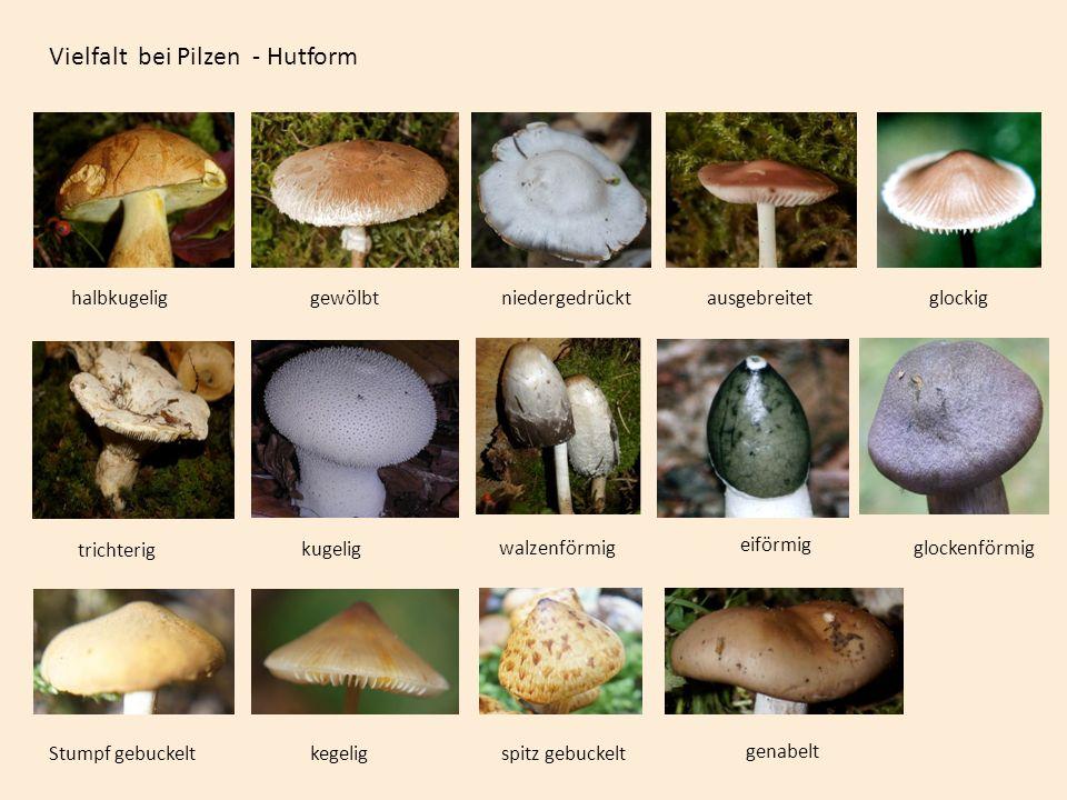 Vielfalt bei Pilzen - Hutform