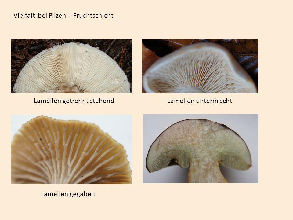 Vielfalt bei Pilzen - Fruchtschicht