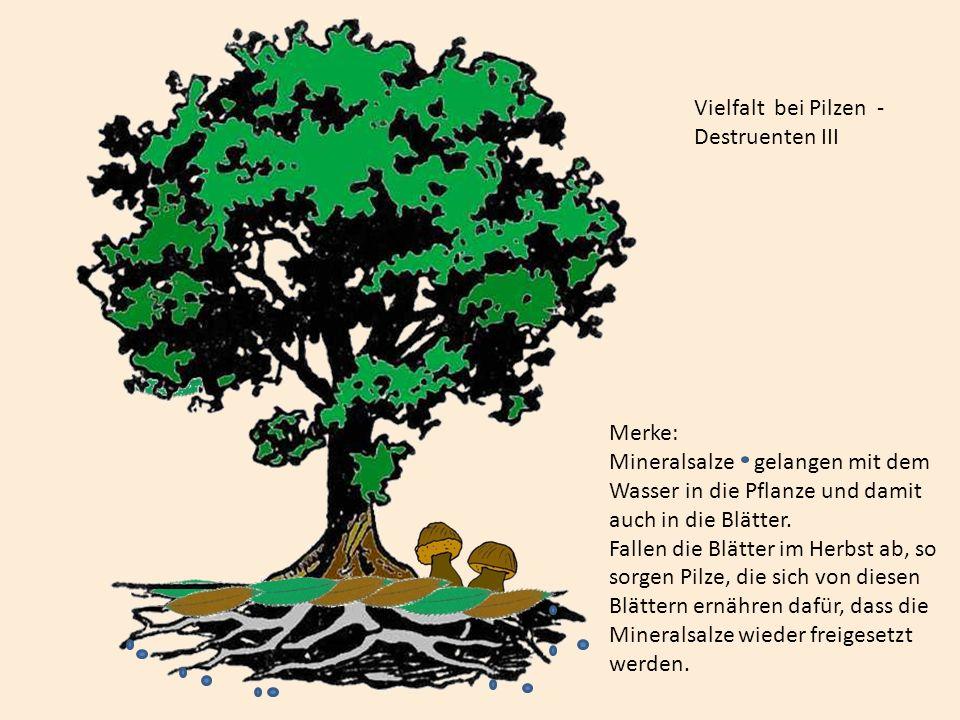 Vielfalt bei Pilzen -Destruenten III. Merke: Mineralsalze gelangen mit dem. Wasser in die Pflanze und damit.