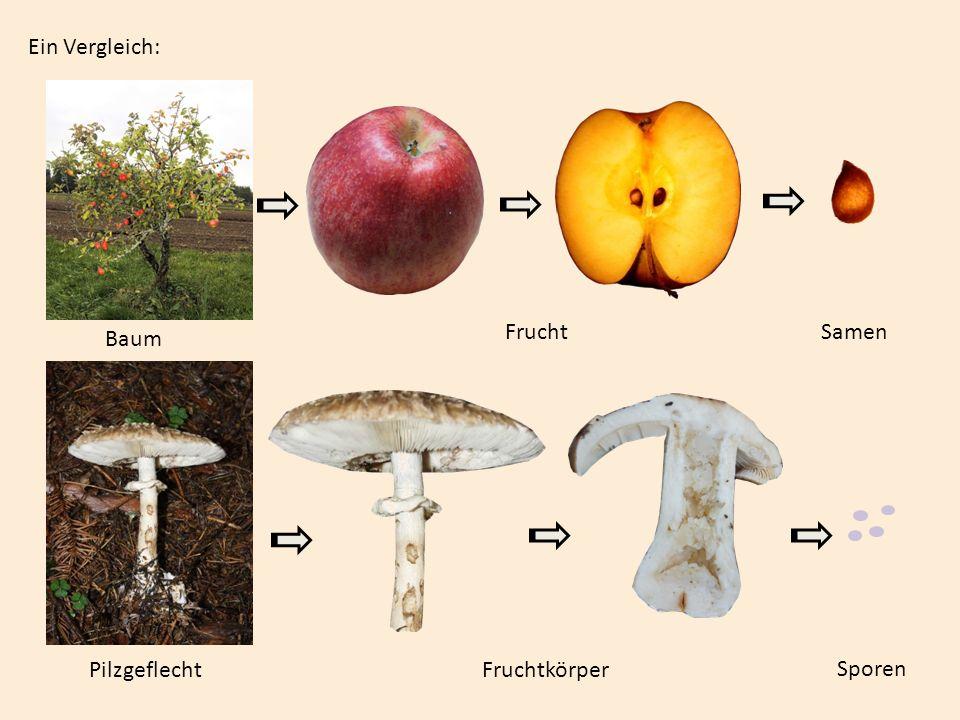 Ein Vergleich: Frucht Samen Baum Pilzgeflecht Fruchtkörper Sporen