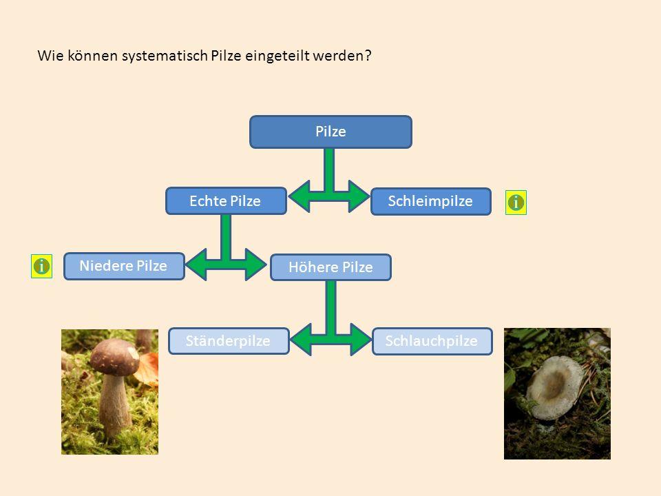Wie können systematisch Pilze eingeteilt werden