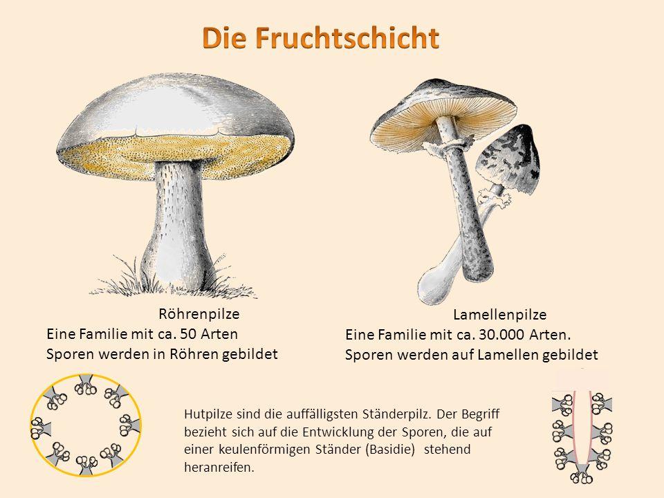 Die Fruchtschicht Röhrenpilze Eine Familie mit ca. 50 Arten