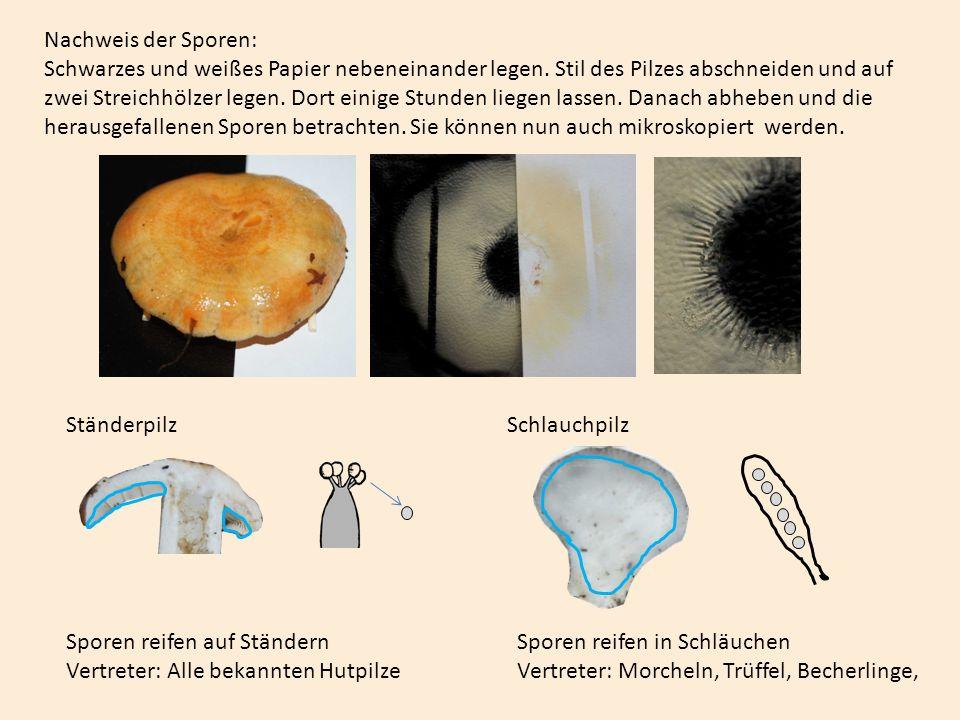 Nachweis der Sporen: Schwarzes und weißes Papier nebeneinander legen
