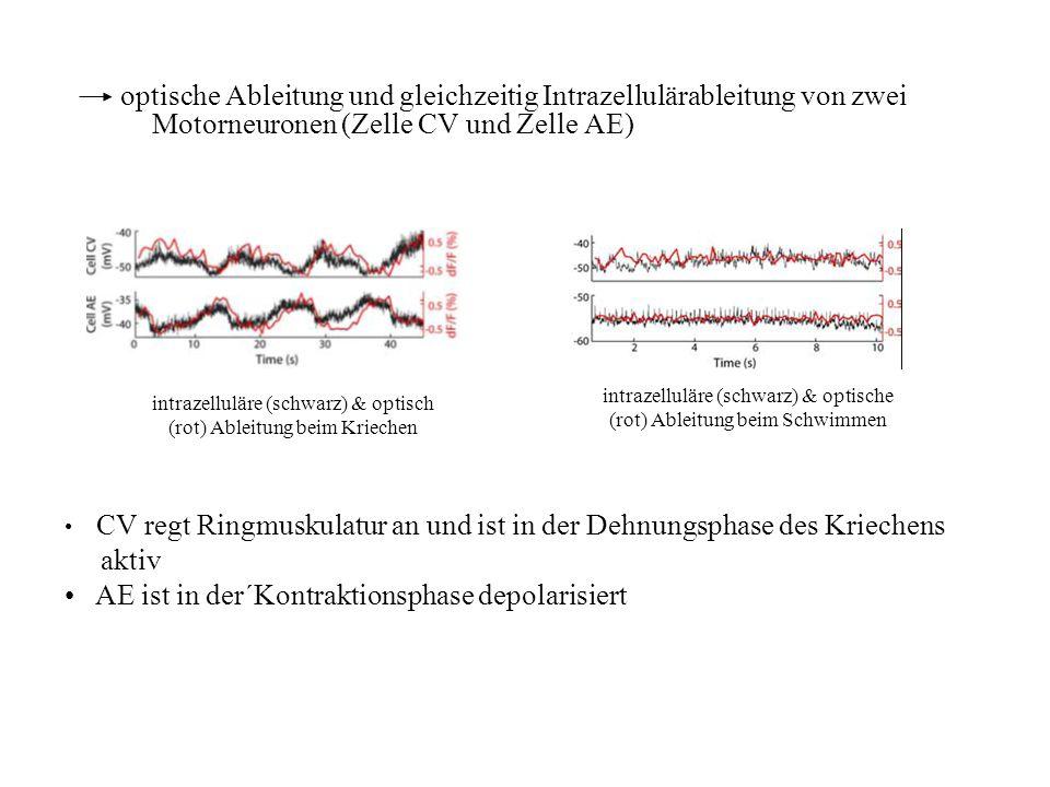 Motorneuronen (Zelle CV und Zelle AE)