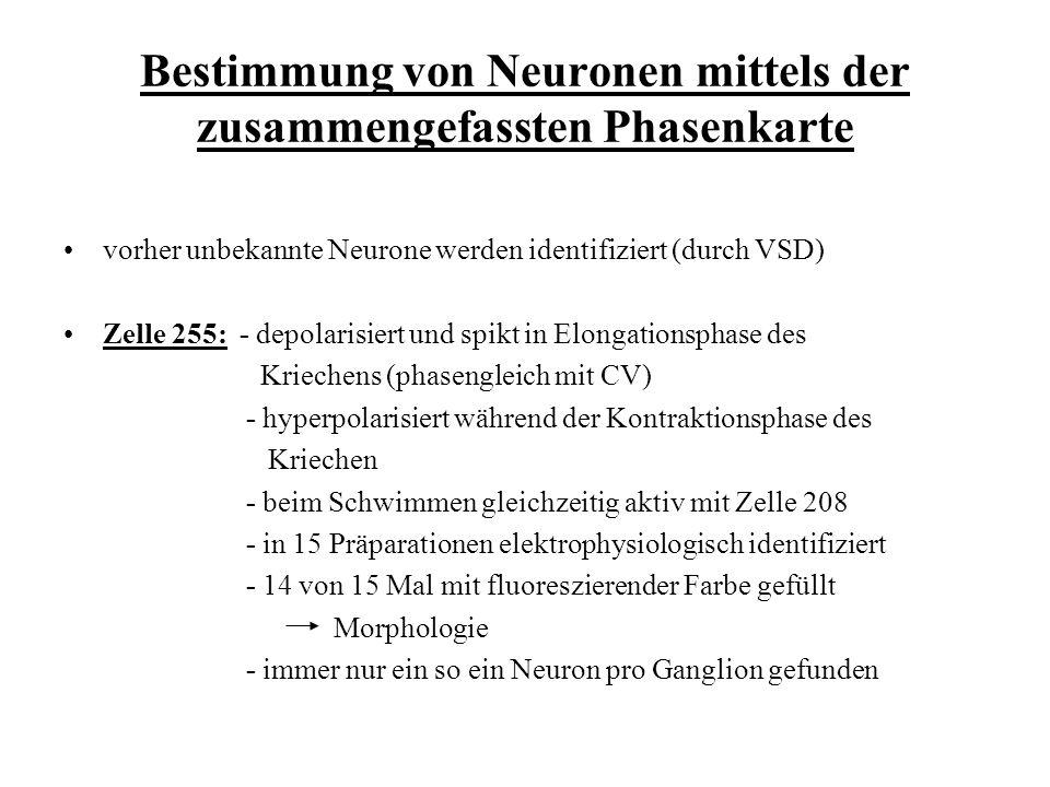 Bestimmung von Neuronen mittels der zusammengefassten Phasenkarte