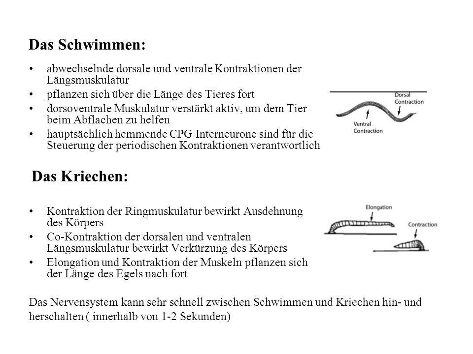 Das Schwimmen: abwechselnde dorsale und ventrale Kontraktionen der Längsmuskulatur. pflanzen sich über die Länge des Tieres fort.