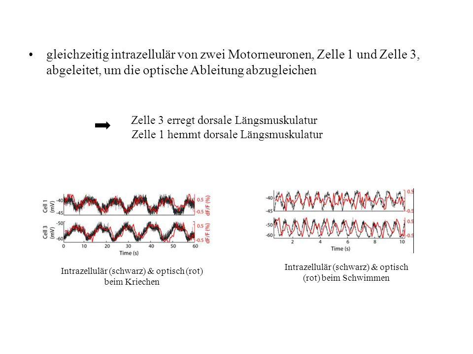 gleichzeitig intrazellulär von zwei Motorneuronen, Zelle 1 und Zelle 3, abgeleitet, um die optische Ableitung abzugleichen