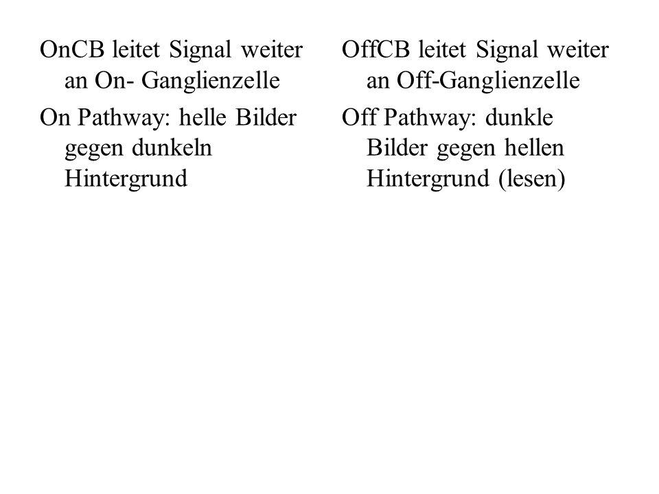 OnCB leitet Signal weiter an On- Ganglienzelle