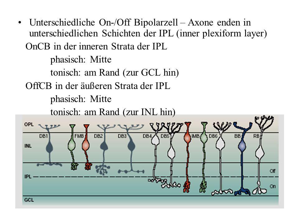 Unterschiedliche On-/Off Bipolarzell – Axone enden in unterschiedlichen Schichten der IPL (inner plexiform layer)