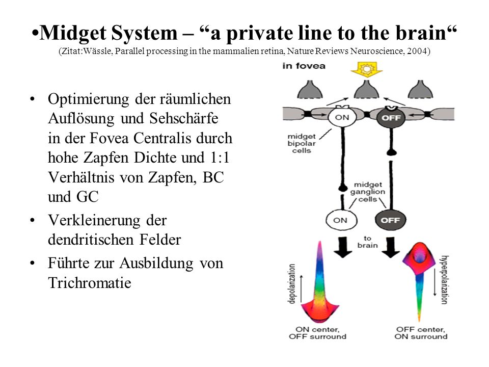 •Midget System – a private line to the brain (Zitat:Wässle, Parallel processing in the mammalien retina, Nature Reviews Neuroscience, 2004)