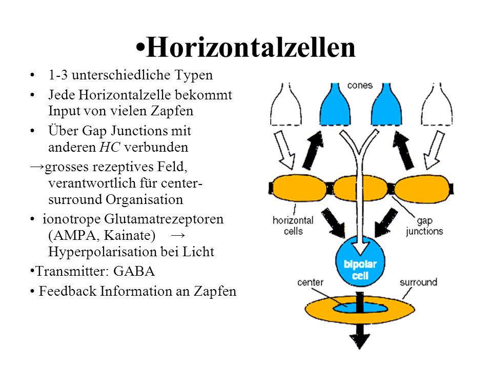 •Horizontalzellen 1-3 unterschiedliche Typen