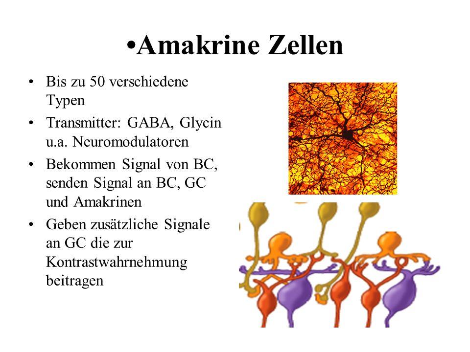 •Amakrine Zellen Bis zu 50 verschiedene Typen