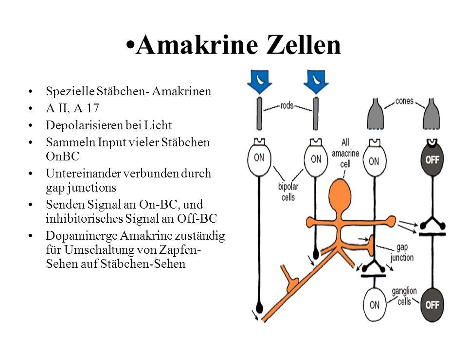•Amakrine Zellen Spezielle Stäbchen- Amakrinen A II, A 17