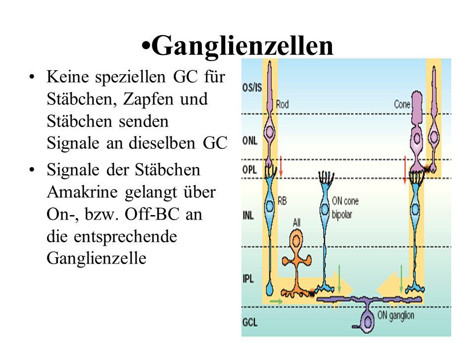 •Ganglienzellen Keine speziellen GC für Stäbchen, Zapfen und Stäbchen senden Signale an dieselben GC.