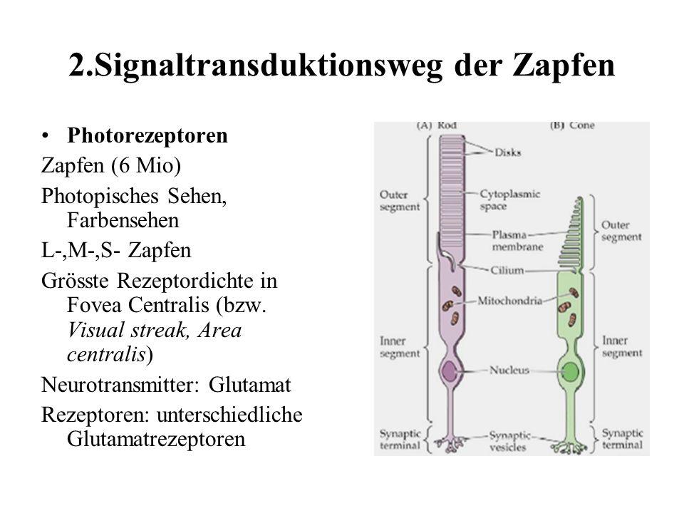 2.Signaltransduktionsweg der Zapfen