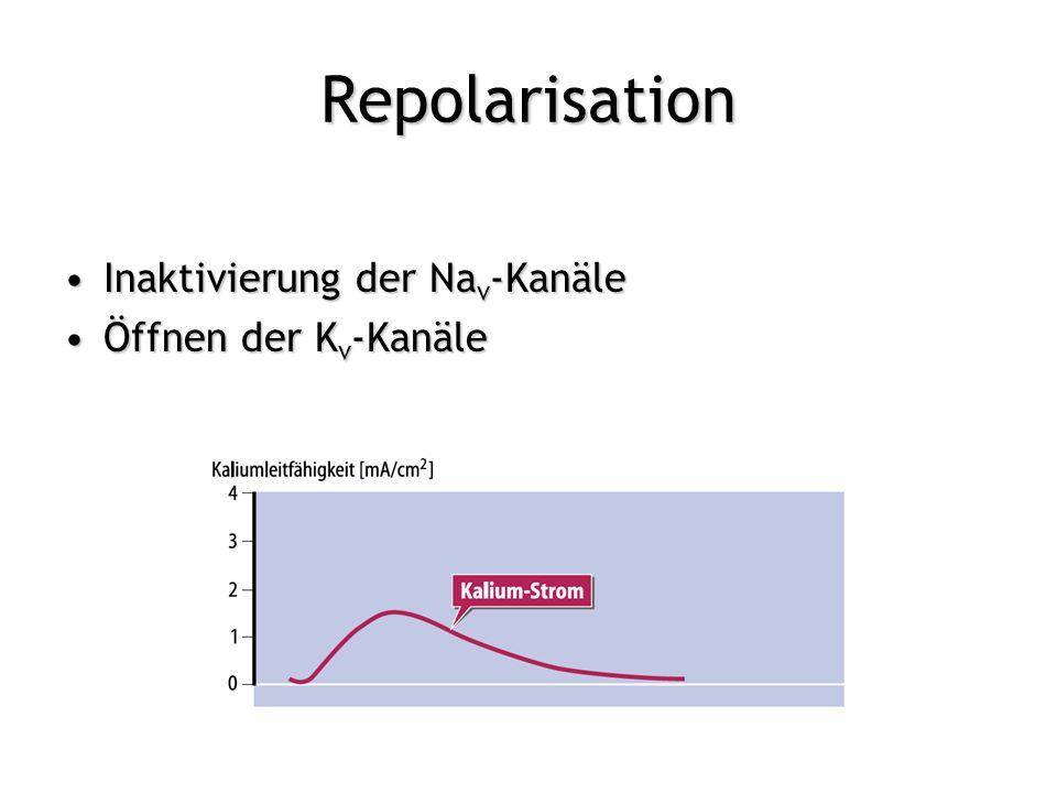 Repolarisation Inaktivierung der Nav-Kanäle Öffnen der Kv-Kanäle