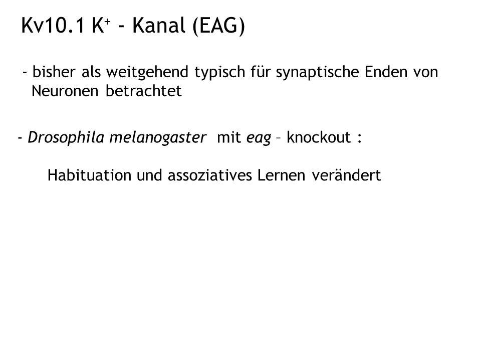Kv10.1 K+ - Kanal (EAG) - bisher als weitgehend typisch für synaptische Enden von Neuronen betrachtet.