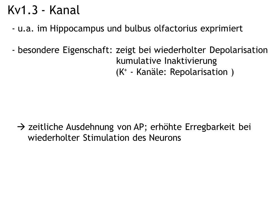 Kv1.3 - Kanal - u.a. im Hippocampus und bulbus olfactorius exprimiert