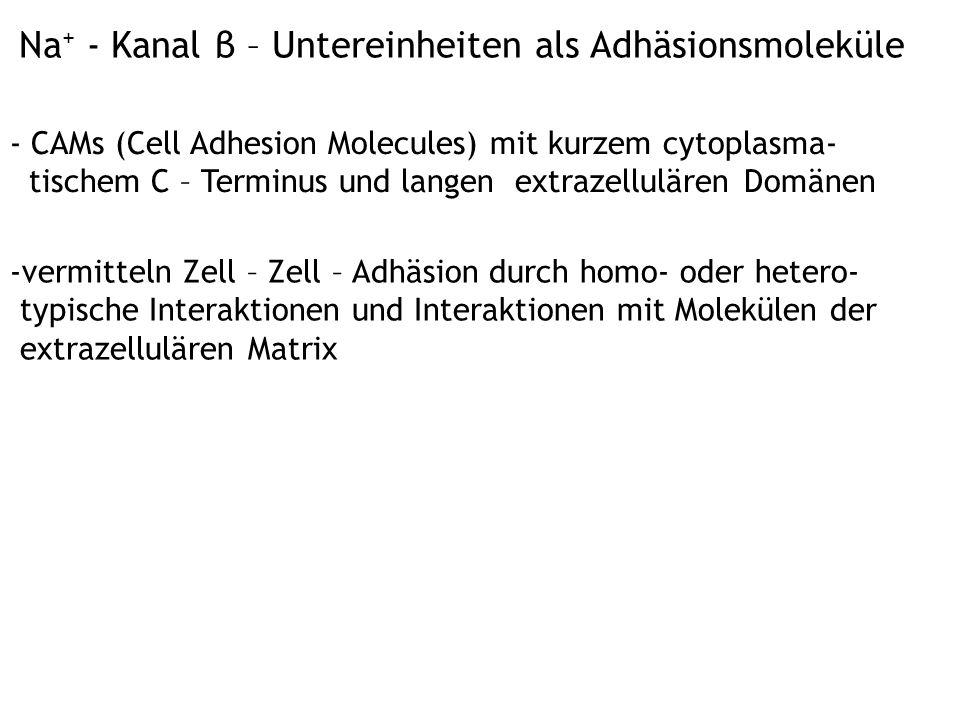 Na+ - Kanal β – Untereinheiten als Adhäsionsmoleküle