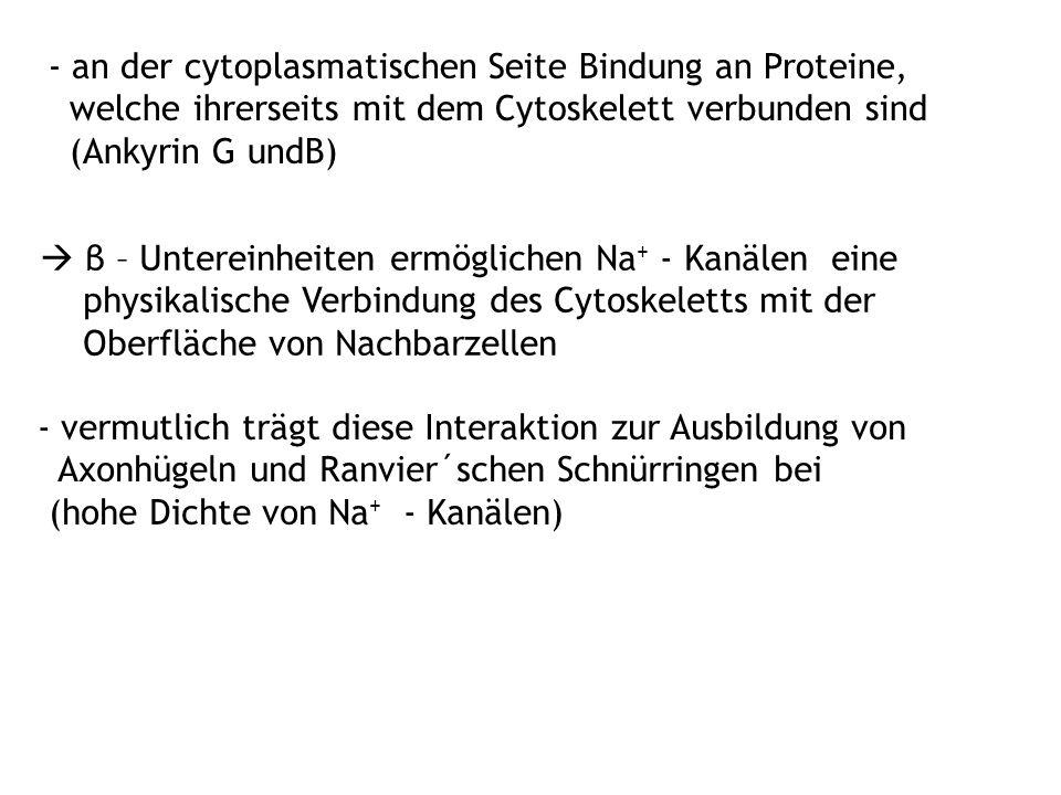 - an der cytoplasmatischen Seite Bindung an Proteine, welche ihrerseits mit dem Cytoskelett verbunden sind (Ankyrin G undB)