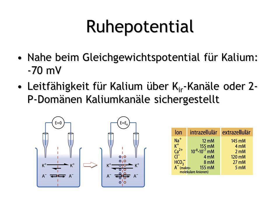 Ruhepotential Nahe beim Gleichgewichtspotential für Kalium: -70 mV