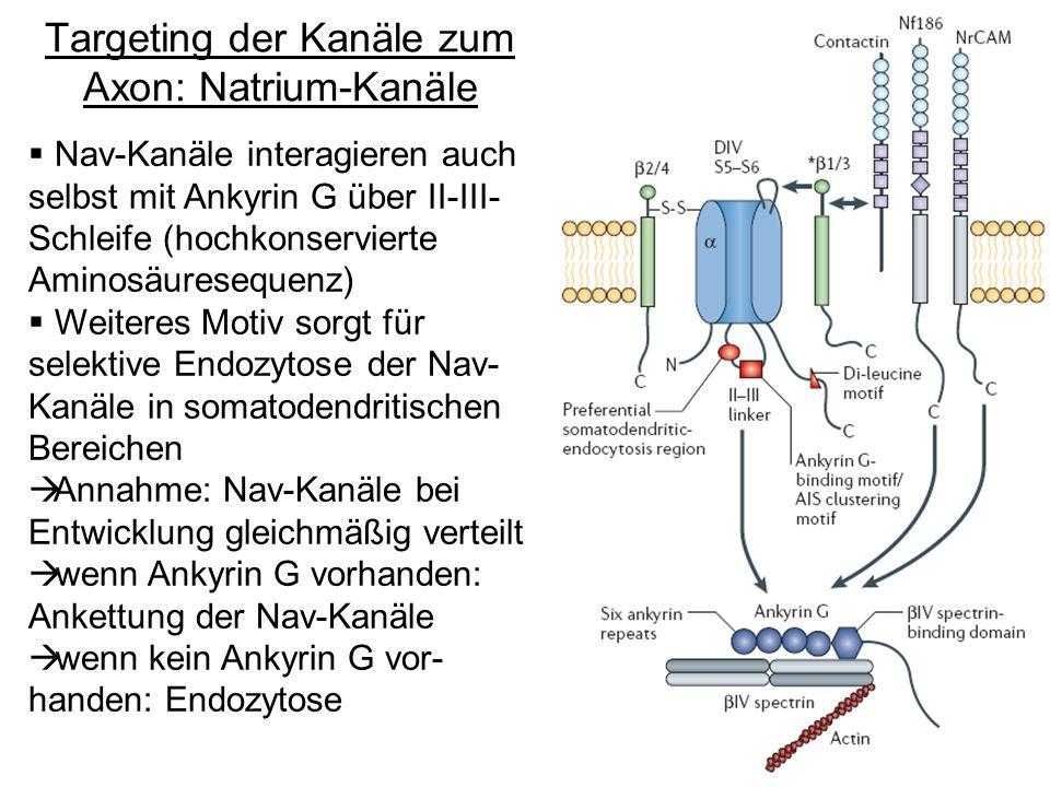 Targeting der Kanäle zum Axon: Natrium-Kanäle