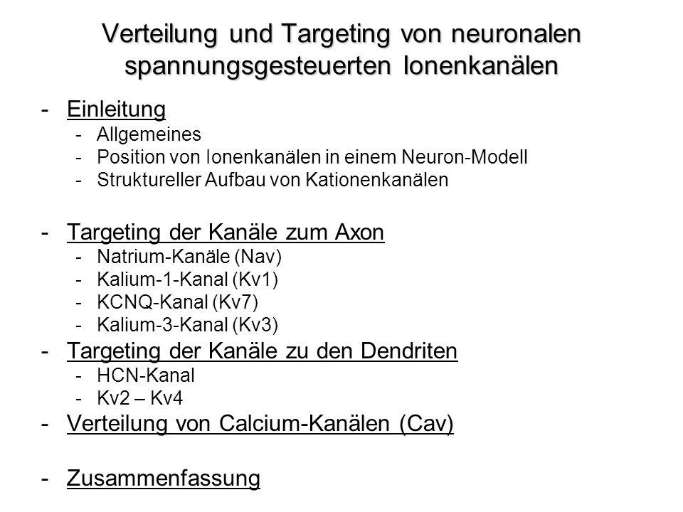 Verteilung und Targeting von neuronalen spannungsgesteuerten Ionenkanälen