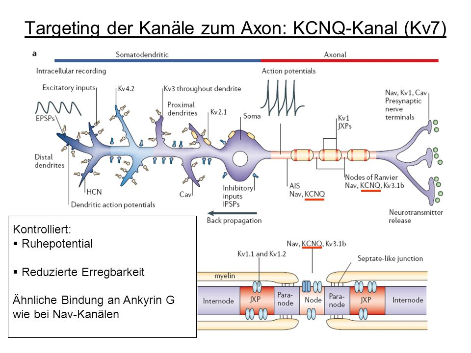 Targeting der Kanäle zum Axon: KCNQ-Kanal (Kv7)
