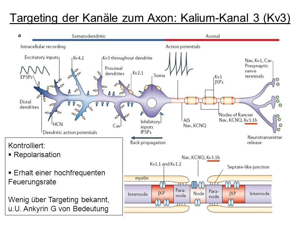Targeting der Kanäle zum Axon: Kalium-Kanal 3 (Kv3)