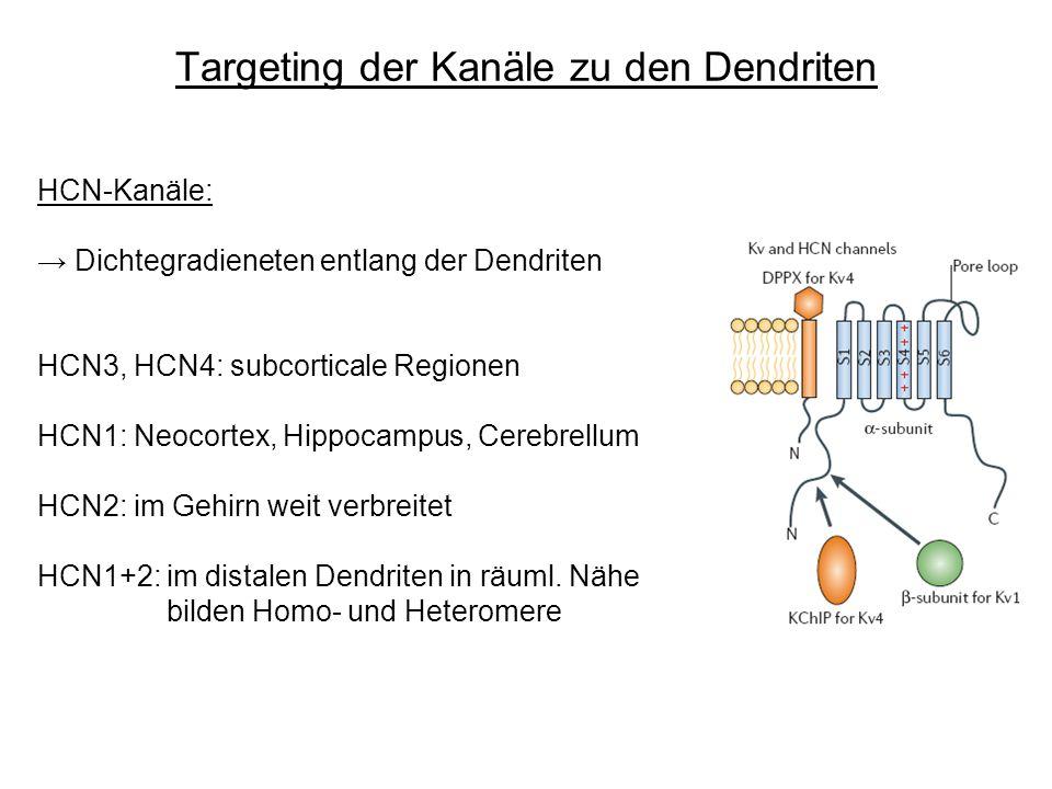 Targeting der Kanäle zu den Dendriten