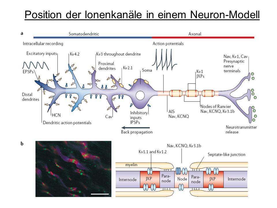 Position der Ionenkanäle in einem Neuron-Modell