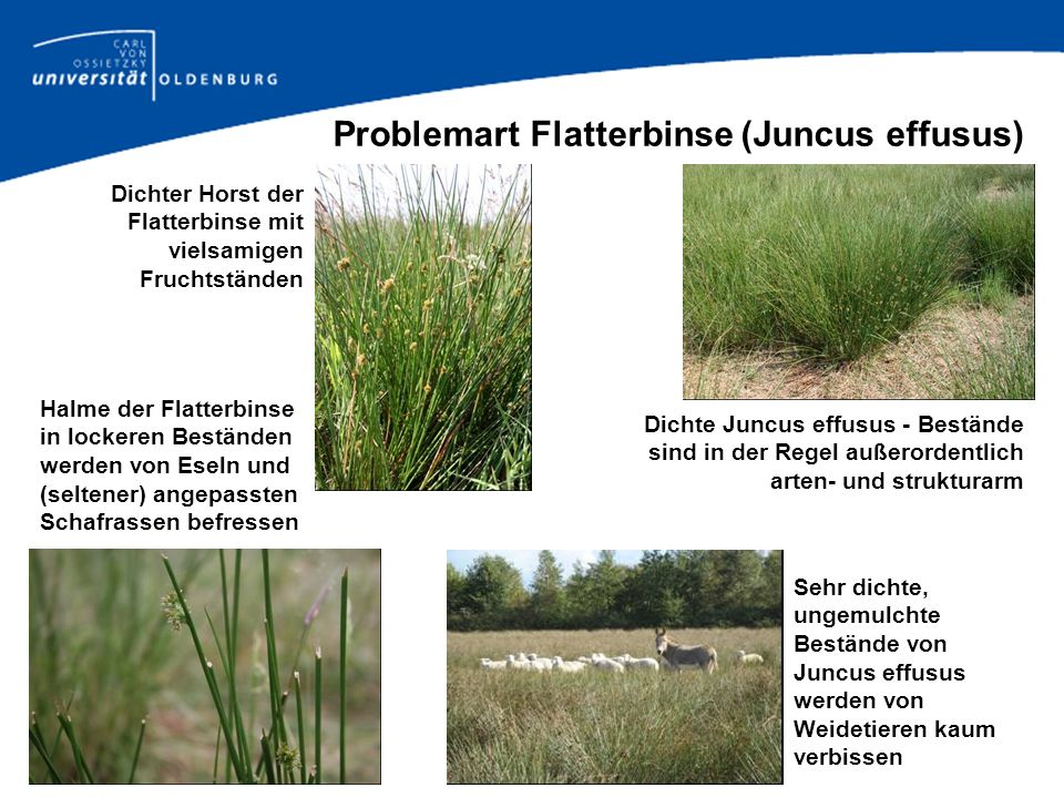 Problemart Flatterbinse (Juncus effusus)