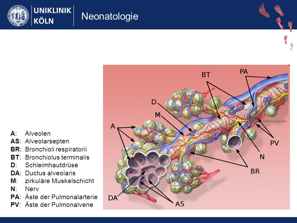 A: Alveolen AS: Alveolarsepten BR: Bronchioli respiratorii BT: Bronchiolus terminalis D: Schleimhautdrüse DA: Ductus alveolaris M: zirkuläre Muskelschicht N: Nerv PA: Äste der Pulmonalarterie PV: Äste der Pulmonalvene