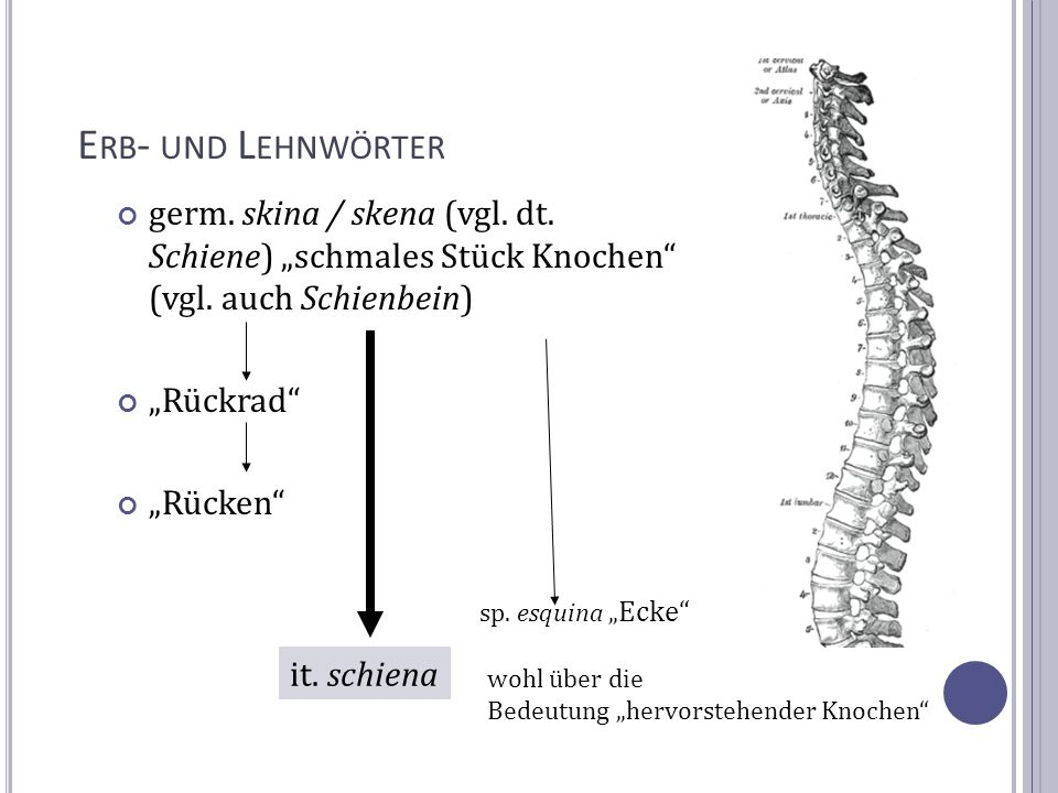 """Erb- und Lehnwörter germ. skina / skena (vgl. dt. Schiene) """"schmales Stück Knochen (vgl. auch Schienbein)"""