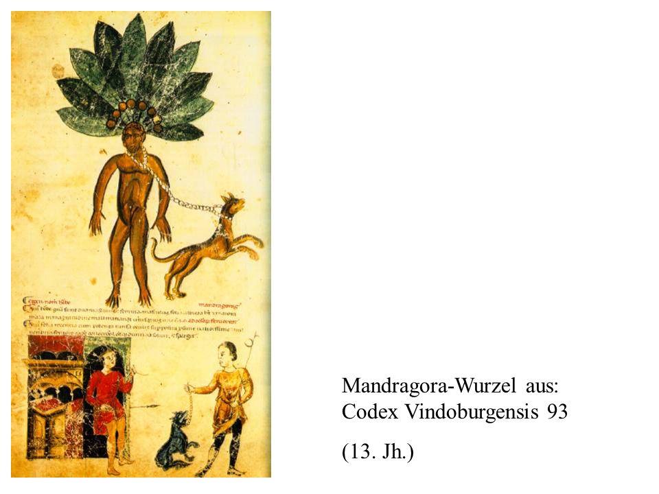 Mandragora-Wurzel aus: Codex Vindoburgensis 93