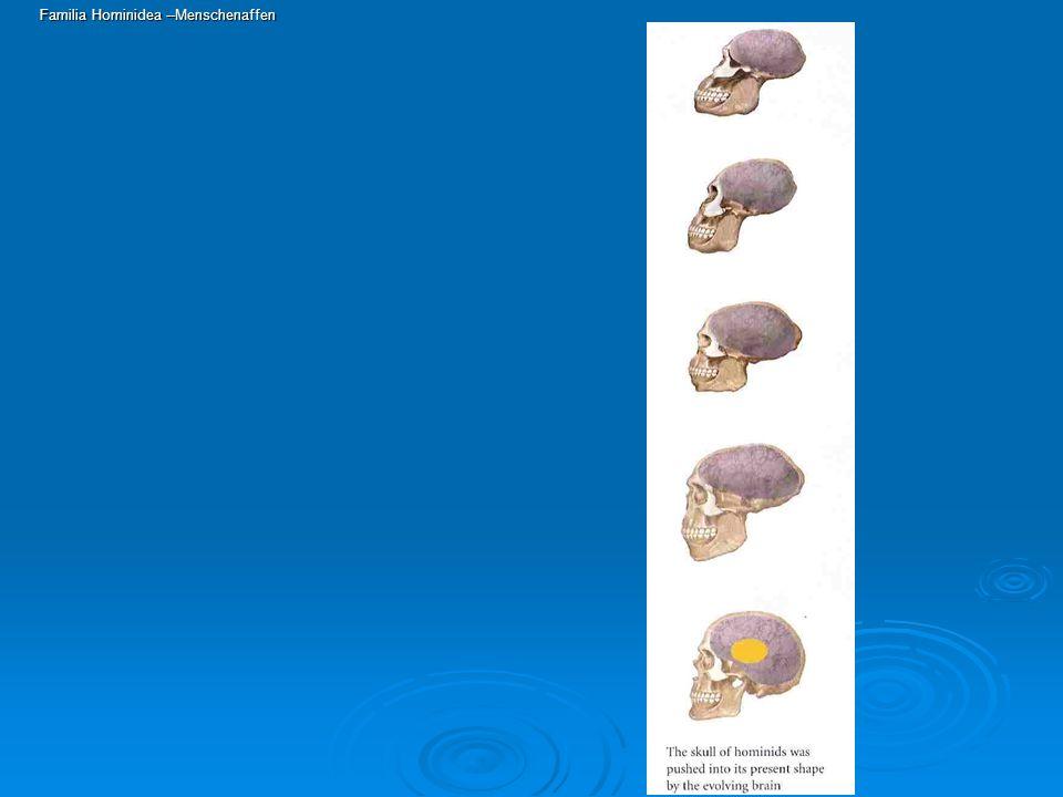 Familia Hominidea --Menschenaffen