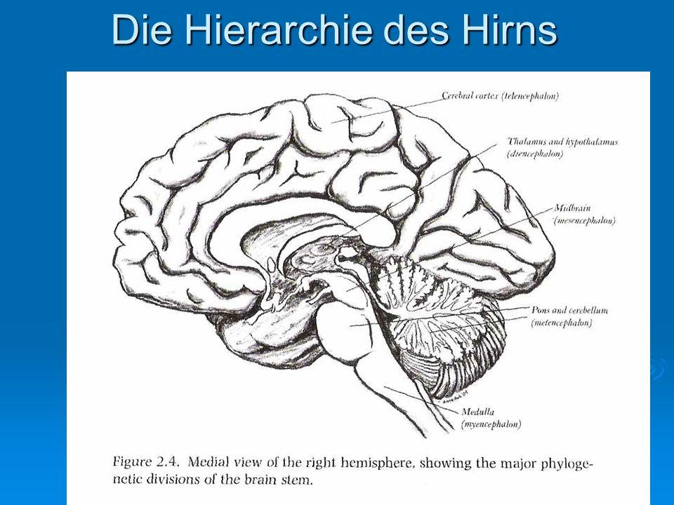 Die Hierarchie des Hirns