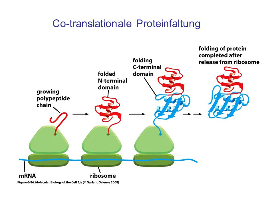Co-translationale Proteinfaltung
