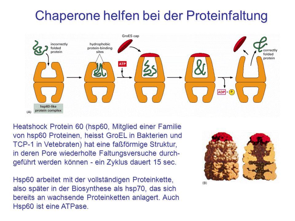 Chaperone helfen bei der Proteinfaltung