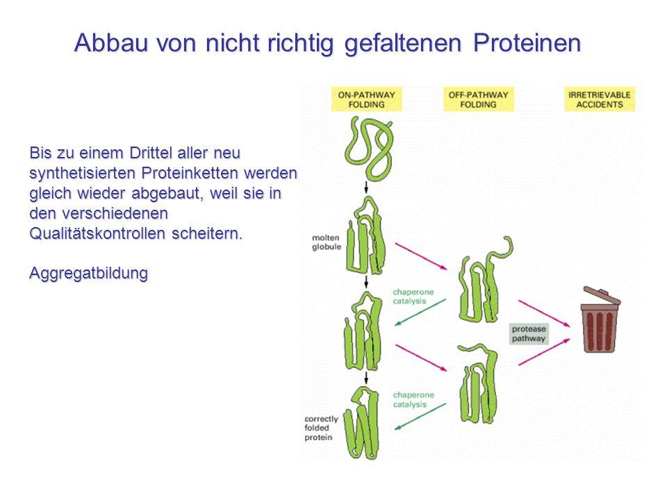 Abbau von nicht richtig gefaltenen Proteinen