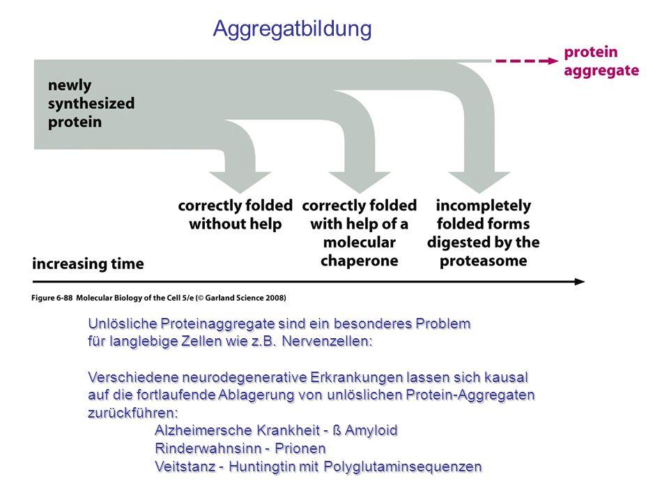 Aggregatbildung Unlösliche Proteinaggregate sind ein besonderes Problem. für langlebige Zellen wie z.B. Nervenzellen: