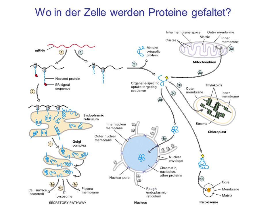 Wo in der Zelle werden Proteine gefaltet