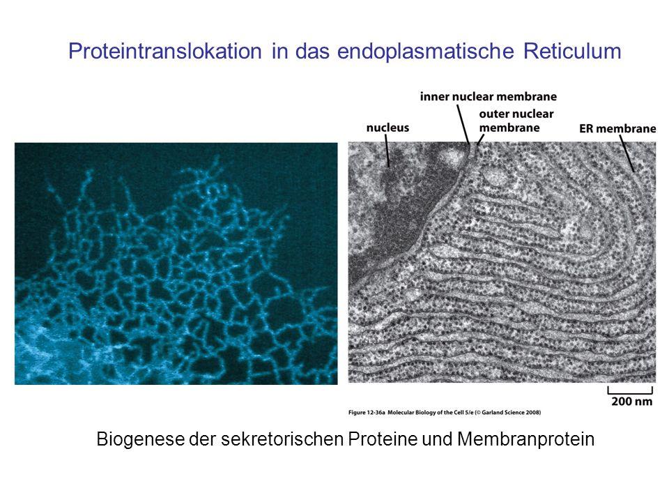 Proteintranslokation in das endoplasmatische Reticulum