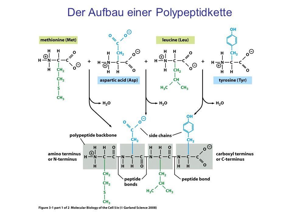 Der Aufbau einer Polypeptidkette