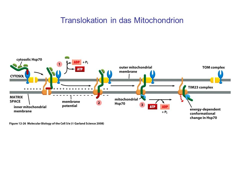 Translokation in das Mitochondrion